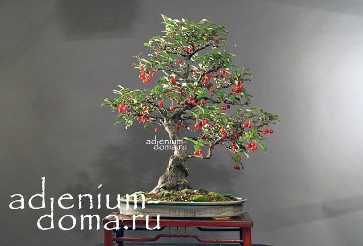 Elaeagnus MULTIFLORA Лох многоцветковый Гуми 3