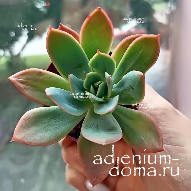Растение Echeveria DERENBERGII Эхеверия Деренберга 2