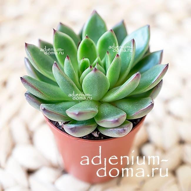Растение Echeveria COSTARII (Эхеверия, Эчеверия) 01
