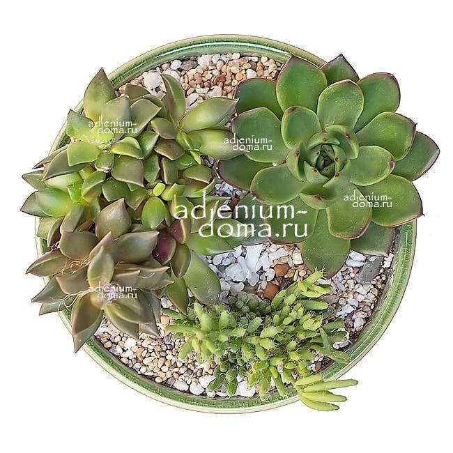 Растение Echeveria COSTARII (Эхеверия, Эчеверия) 02