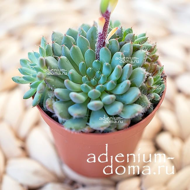 РРастение Echeveria SETOSA var. DEMINUTA (Эхеверия, Эчеверия) 01