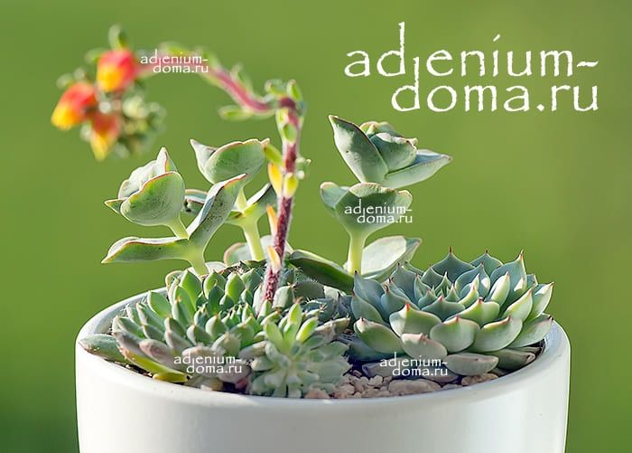 Растение Echeveria SETOSA var. DEMINUTA (Эхеверия, Эчеверия) 02