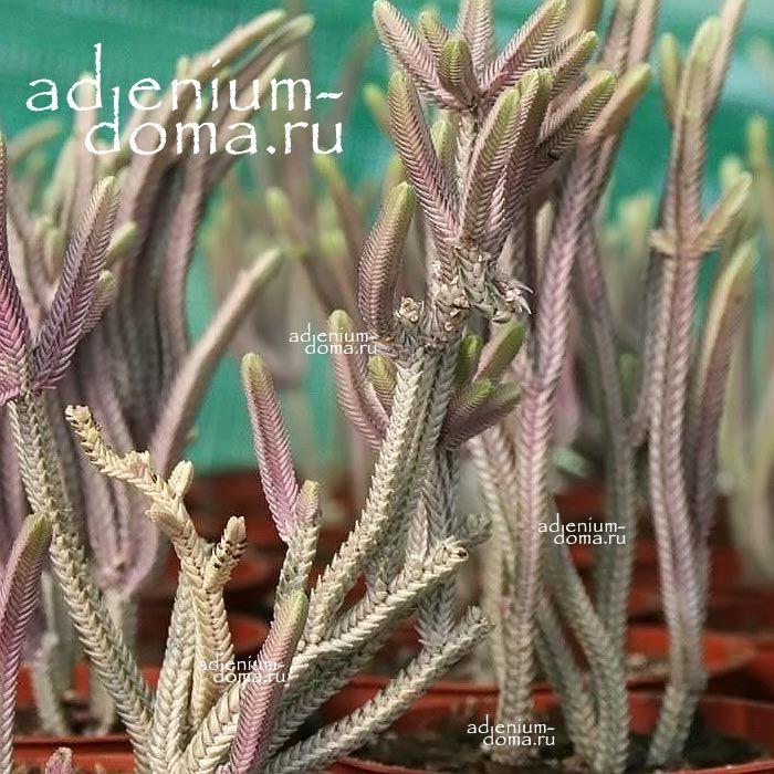 Растение Crassula PERFORATA Giant Form (Крассула, Толстянка) 01