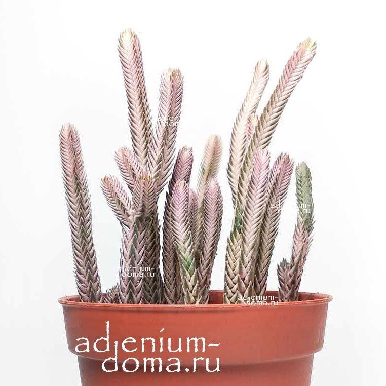 Растение Crassula PERFORATA Giant Form (Крассула, Толстянка) 02