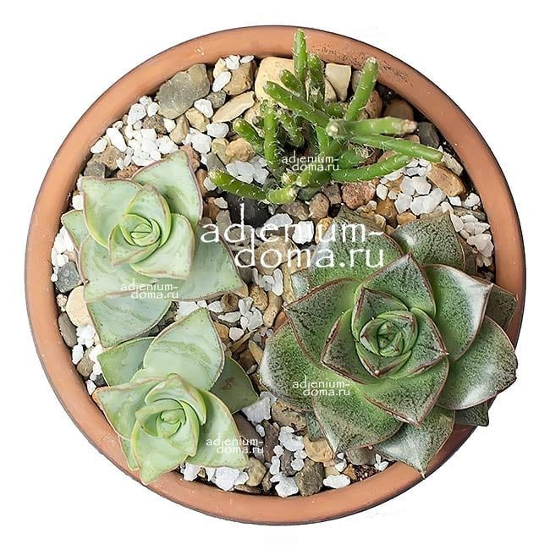 Растение Rhipsalis BURCHELLII (Рипсалис) 03