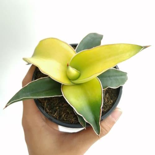 Растение Gasteria MIX I (Гастерия) 3