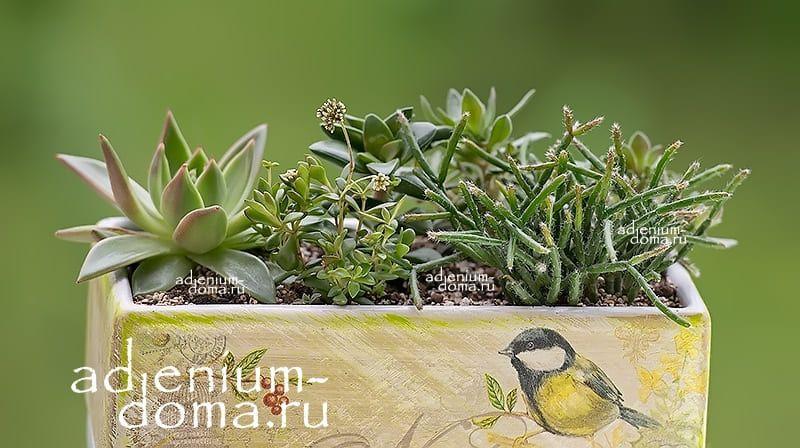Растение Crassula RADICANS (Крассула, Толстянка) 03