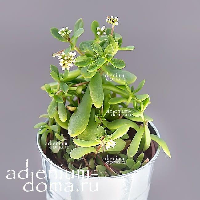 Растение Crassula RADICANS (Крассула, Толстянка) 02