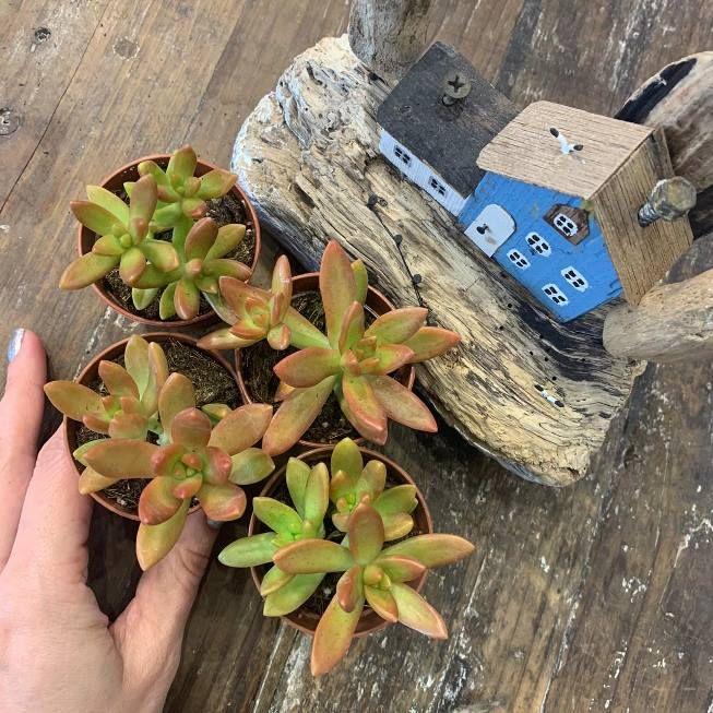 Растение Sedum NUSSBAUMERIANUM (Седум, Очиток) 3