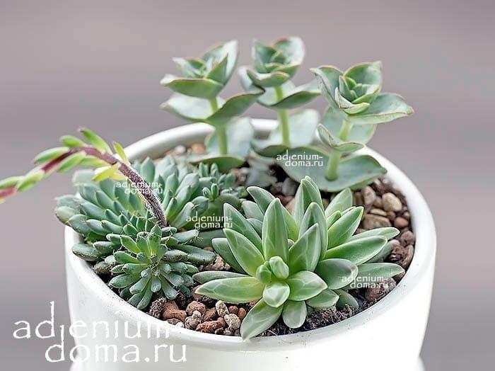 Растение Pachyphytum COMPACTUM (Пахифитум) 3