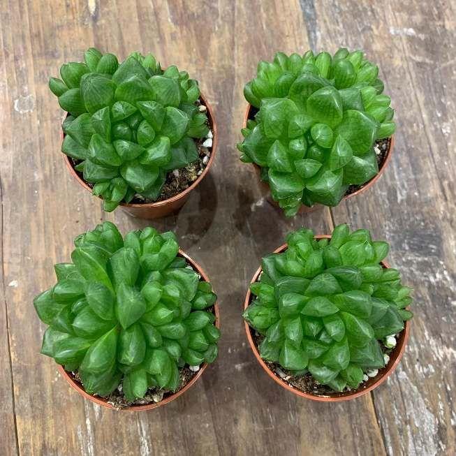 Растение Haworthia CYMBIFORMIS var. OBTUSA (Хавортия) 2