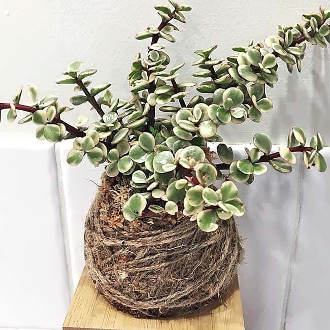 Растение Portulacaria AFRA VARIEGATA (Портулакария) 3