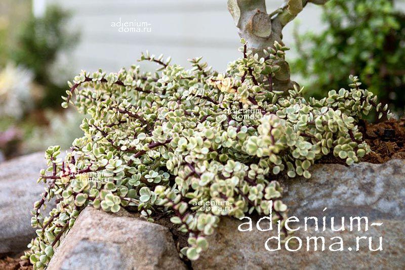 Растение Portulacaria AFRA VARIEGATA (Портулакария) 4