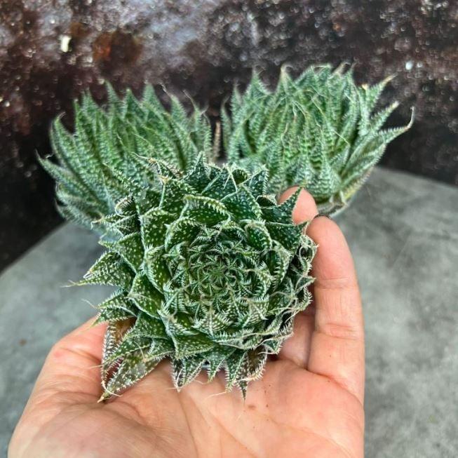 Растение Aloe ARISTATA (Алоэ) 2