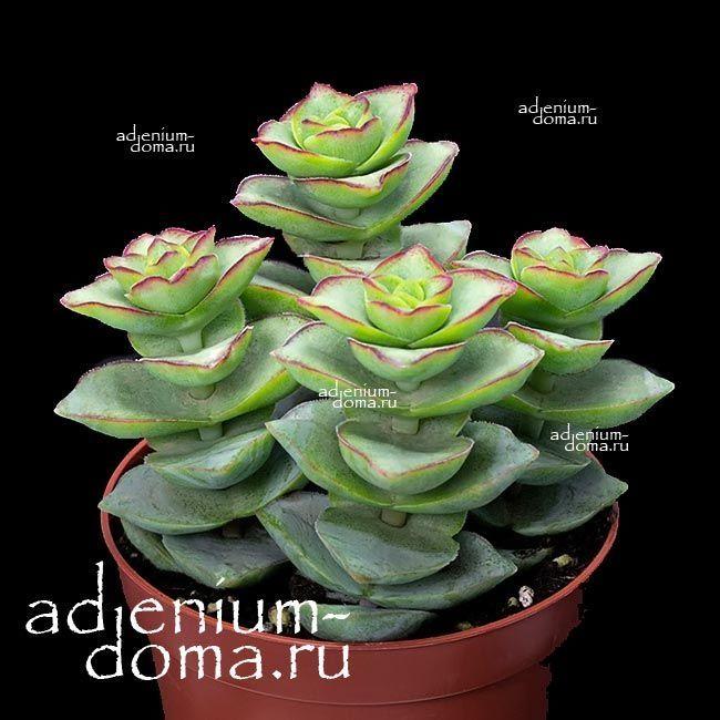 Растение Crassula PERFORATA RED BORDER (Крассула, Толстянка) 2