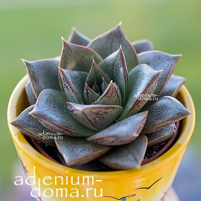 Растение Echeveria PURPUSORUM Эхеверия Эчеверия 1