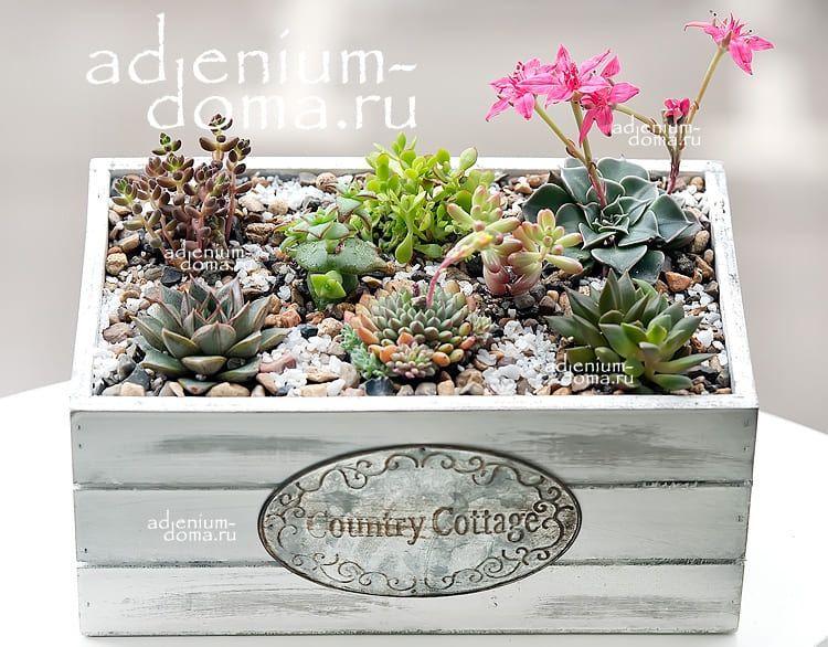 Растение Sedum STAHLII (Седум, Очиток) 3