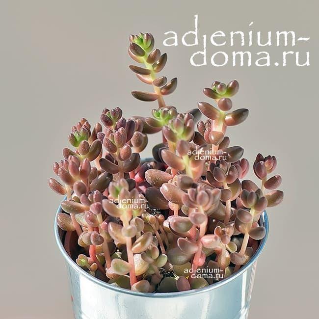 Растение Sedum STAHLII (Седум, Очиток) 1