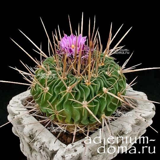 Echinofossulocactus HASTATUS Эхинофоссулокактус копьевидный 1