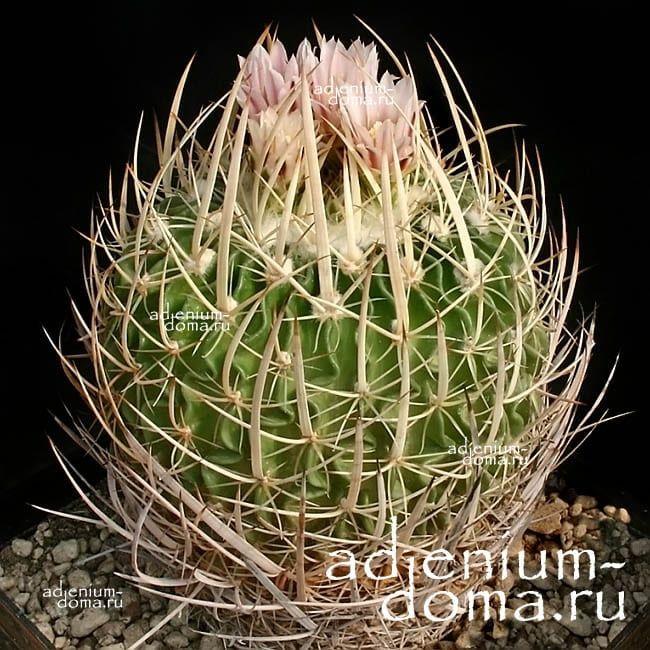 Echinofossulocactus GUERRAIANUS Эхинофоссулокактус воинственный 1