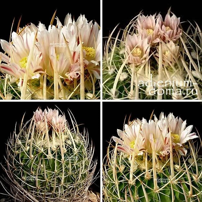 Echinofossulocactus GUERRAIANUS Эхинофоссулокактус воинственный 2