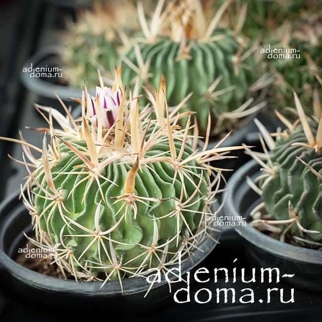 Echinofossulocactus ARRIGENS Эхинофоссулокактус поднимающийся 1