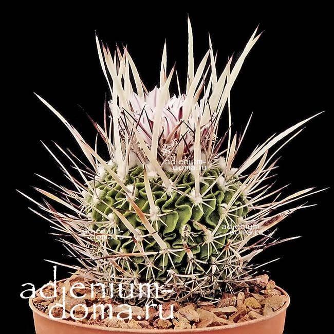 Echinofossulocactus ARRIGENS Эхинофоссулокактус поднимающийся 2