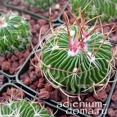 Echinofossulocactus MULTICOSTATUS Эхинофоссулокактус многореберный 1