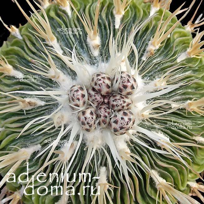 Echinofossulocactus MULTICOSTATUS Эхинофоссулокактус многореберный 2