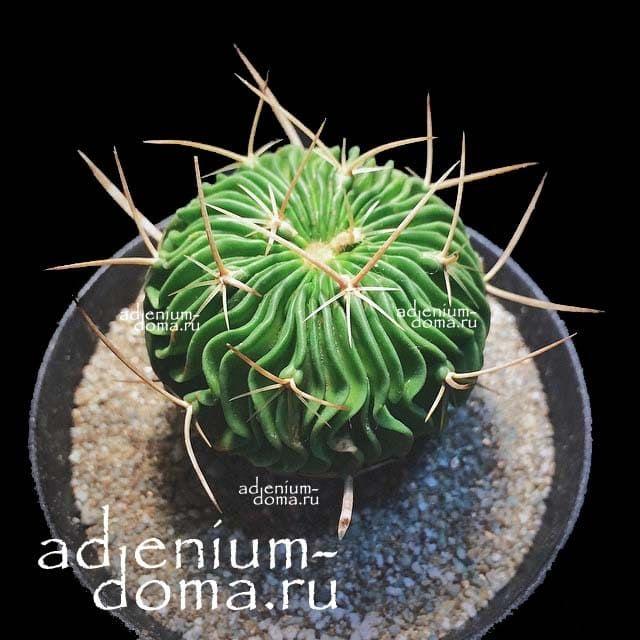 Echinofossulocactus MULTICOSTATUS Эхинофоссулокактус многореберный 3
