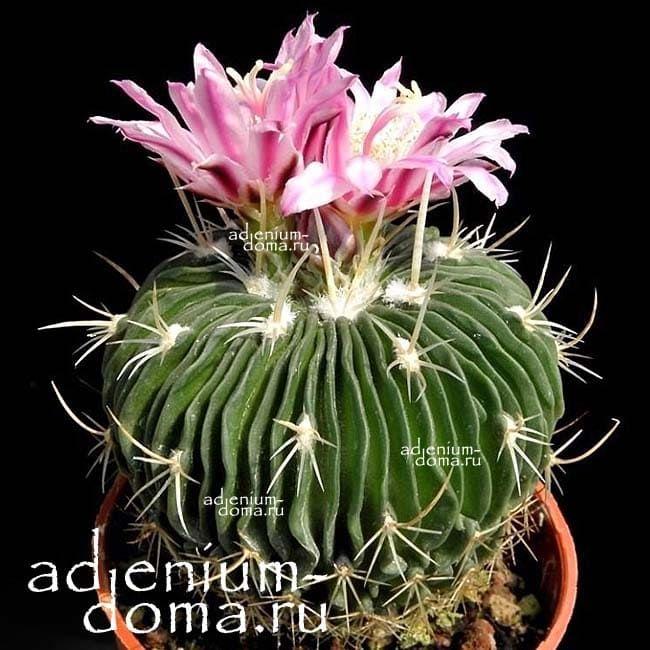 Echinofossulocactus MULTICOSTATUS Эхинофоссулокактус многореберный 4