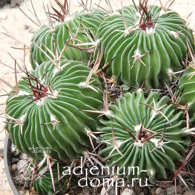 Echinofossulocactus ZACATECASENSIS Эхинофоссулокактус закатекасский 1