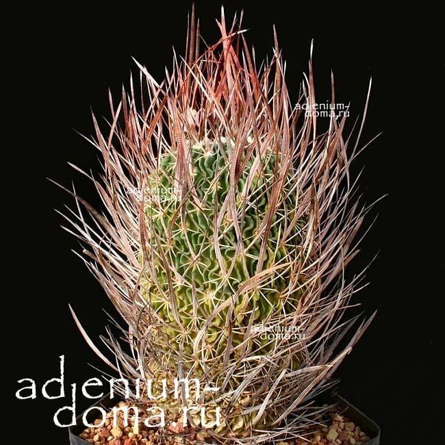 Echinofossulocactus LLOYDII Эхинофоссулокактус Ллойда 2