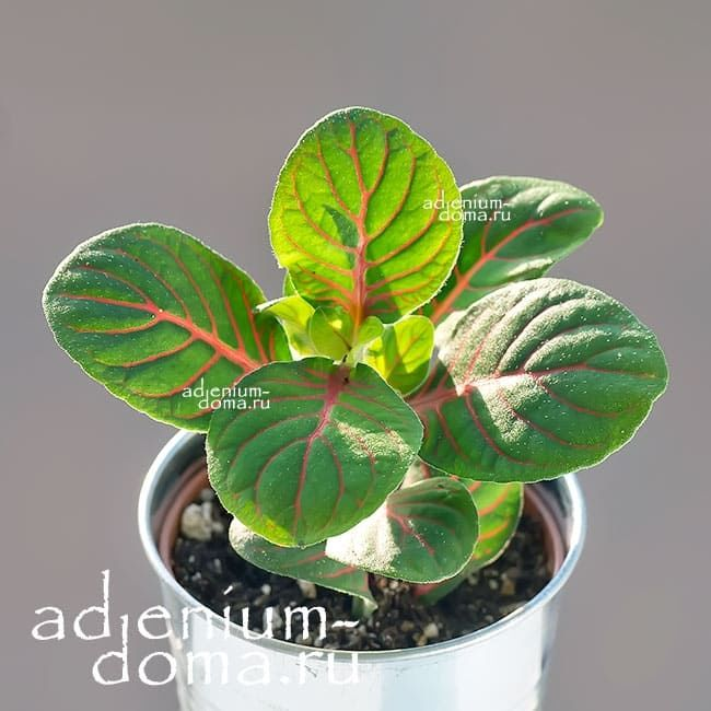 Растение Fittonia FORTISSIMO (Фиттония) 1