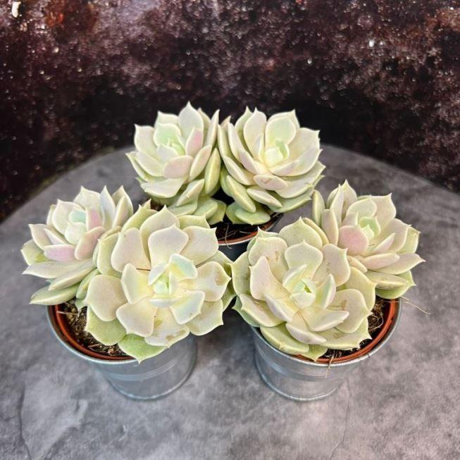 Растение Fittonia WHITE FOREST FLAME (Фиттония) 1