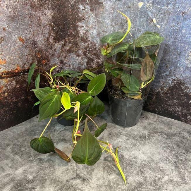 Растение Fittonia RED (Фиттония) 1