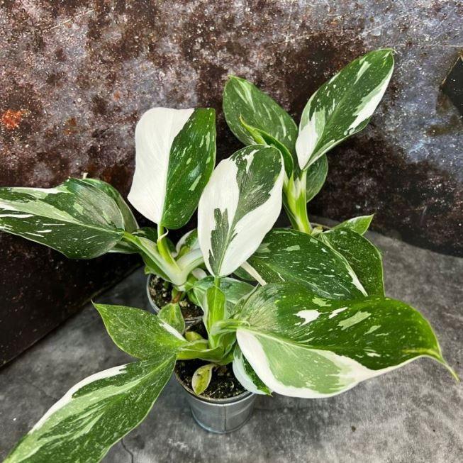 Растение Fittonia ANNE (Фиттония) 1