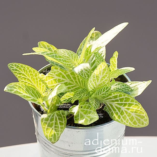 Растение Fittonia WHITE VEIN (Фиттония) 1