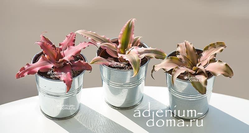 Растение Cryptanthus BIVITTATUS 'CHOCOLATE SOLDIER' (Криптантус) 3