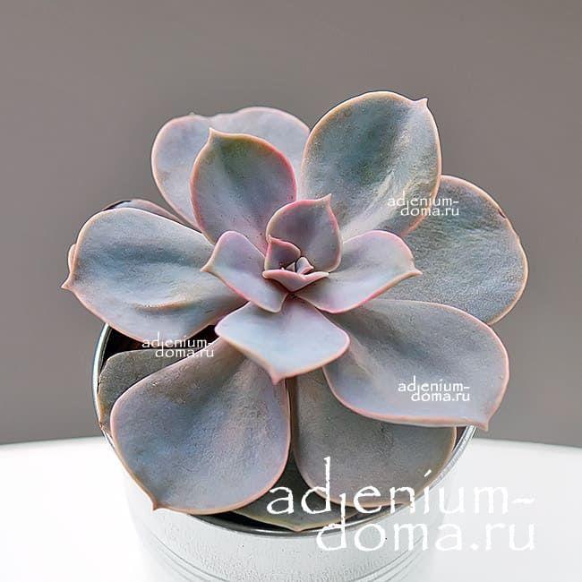 Растение Echeveria 'PERLE VON NURNBERG' (Эхеверия, Эчеверия) 1