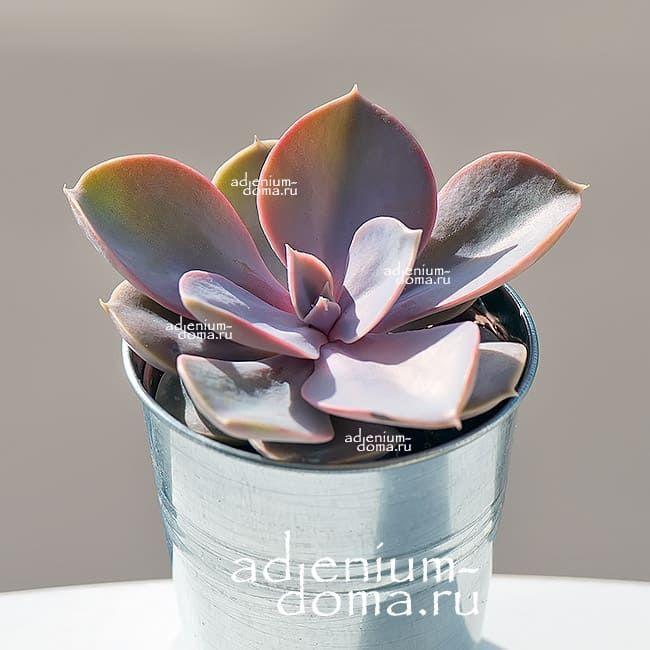 Растение Echeveria 'PERLE VON NURNBERG' (Эхеверия, Эчеверия) 2