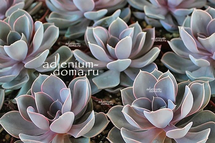 Растение Echeveria 'PERLE VON NURNBERG' (Эхеверия, Эчеверия) 3