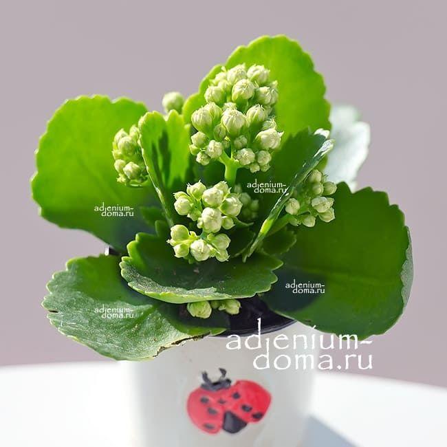Растение Kalanchoe BLOSSFELDIANA CALANDIVA MINI 3