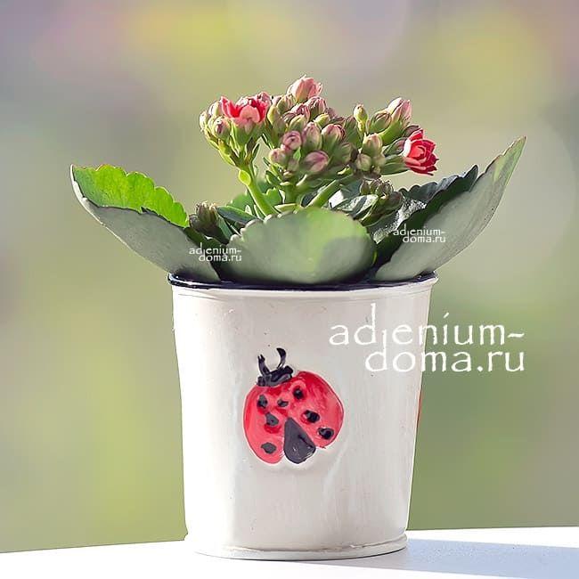 Растение Kalanchoe BLOSSFELDIANA CALANDIVA MINI Каланхоэ красное 1