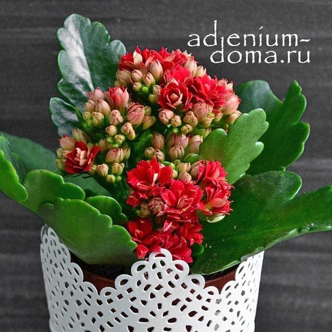 Растение Kalanchoe BLOSSFELDIANA CALANDIVA MINI Каланхоэ красное 2
