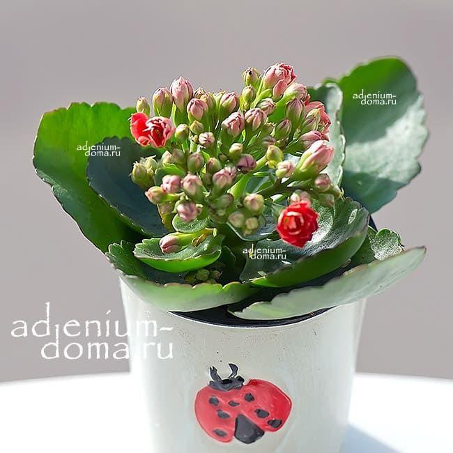 Растение Kalanchoe BLOSSFELDIANA CALANDIVA MINI Каланхоэ красное 3