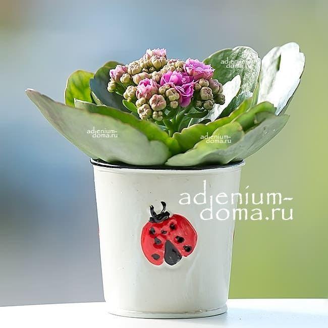 Растение Kalanchoe BLOSSFELDIANA CALANDIVA MINI Каланхоэ розовое 1