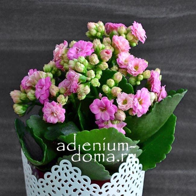 Растение Kalanchoe BLOSSFELDIANA CALANDIVA MINI Каланхоэ розовое 2