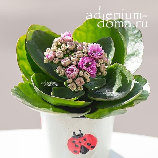 Растение Kalanchoe BLOSSFELDIANA CALANDIVA MINI Каланхоэ розовое 3