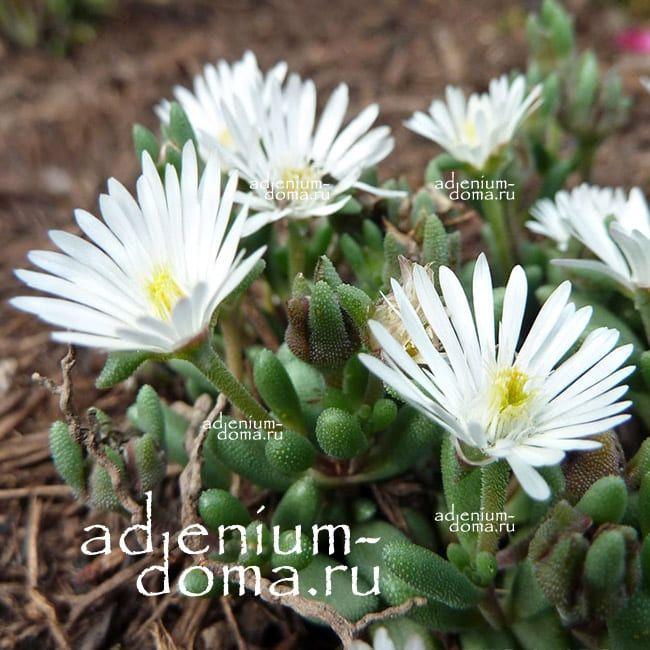 Delosperma KARROOICUM Делосперма Каррукум 2